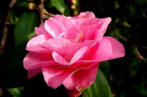 Open pink by Scr1b3