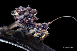 Ant-Snatching Assassin Bug (Acanthaspis sp.) by melvynyeo
