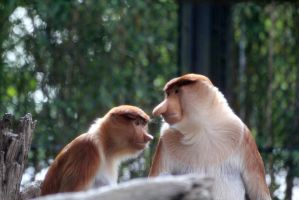 Proboscis Monkeys by firenze-design