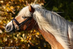 My haflinger Macho by MissToseland