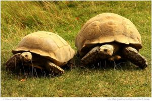 Giant Sulcata Tortoises by In-the-picture