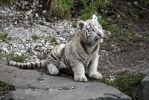 White Tiger Baby II by Vanell-Photography