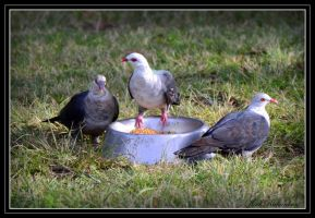 White-headed Pigeons by Purple-Dragonfly-Art
