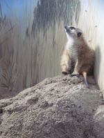 Meerkat Sitting About by SubRosa-undertherose