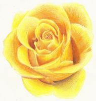 Yellow Rose by Rollingboxes
