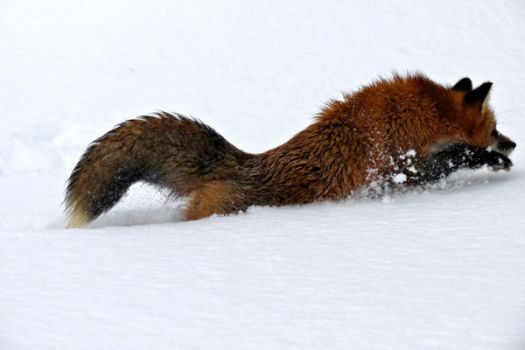 Fox Running in the Snow by tracy-Me