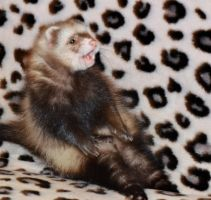 Weird pose of the excited ferret by Panda-kiddie