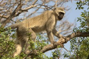 Vervet Monkey by cathy001