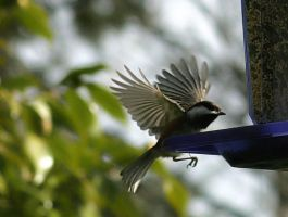 Chickadee Landing by andras120