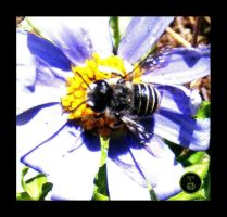 Native Blue Banded Bee by Ranger-Roger-Reserve