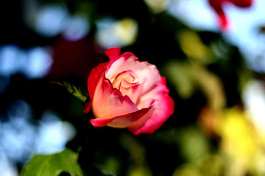 Pink and White Rose by mfuld