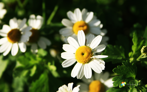 Windows 8 white flowers by rehsup