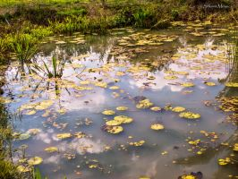 Lilies pond by ShlomitMessica