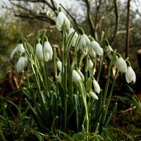 After the Daffs, come Snowdrops by EarthHart