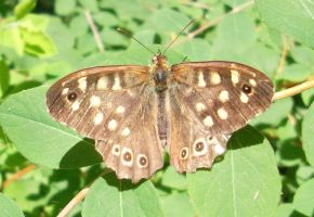 butterfly brown by Mirly85