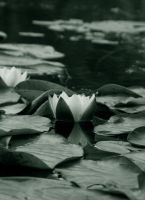 Water Lily by Kuallo