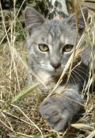 Chat Gris by casefr