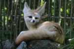 Fennec Stock 03 by Malleni-Stock
