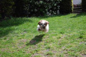 Floating Shih Tzu by ConverseRoses