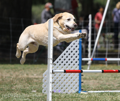 AKC Agility Trial 6 by Deliquesce-Flux