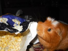 Guinea Pig Wants Popcorn by Melrainbow