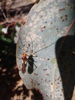Another Mirid Wasp-Mimic by Drhoz