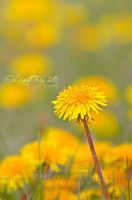A Yellow Dream by Capricuario