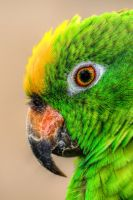Amazon - Parrot HDR by teslaextreme