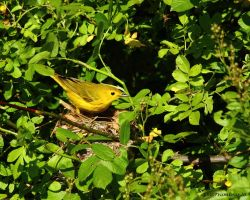 Yellow Warbler at it's nest by natureguy