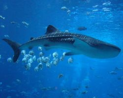 Whale Shark by kfrosty008