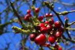 autumn berries by cheah77