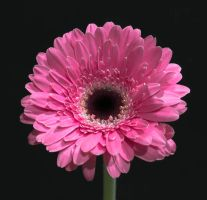 Gerbera Flower by ChrisDC123