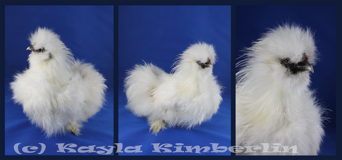 Etsy Taxidermy Sale: Silky Chicken! by BluesCuriosities