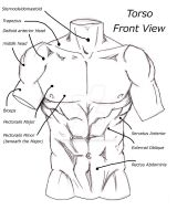 Torso Front View by Soccer20Star
