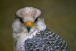 Falcon Lover by Hishino