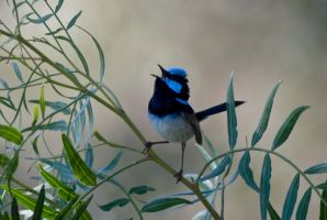 Superb Fairywren by garts1966