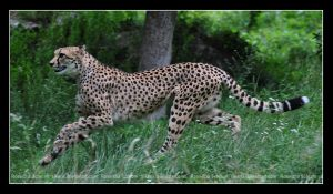 Cheetah (001) - running by Sikaris