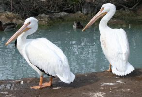Tautphaus Zoo 12 Pelican by Falln-Stock