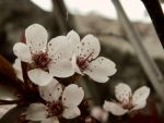 Plum Flowers 2 by RainbowGuitars