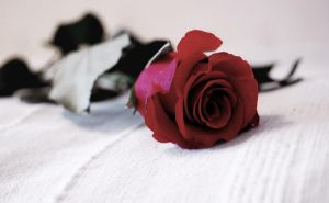 Red Rose by gogosweden