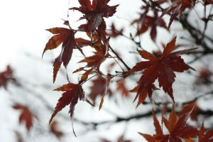 Maple Leaves by yo-na