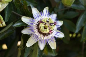 Passion flower stock by corienb