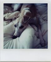 portrait of a lazy whippet by futurowoman