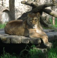 Lioness by ALExIA483