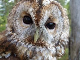 Adult Tawny owl II by Epic-stock