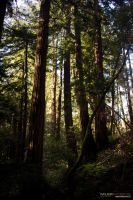 Muir Woods 10 by massivefocus