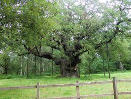 Major Oak by Mondilein-Stock