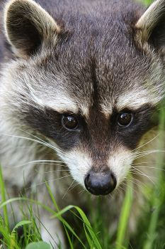 Racoon by FlorianHebel