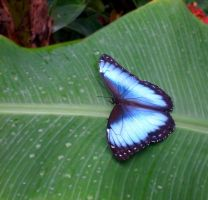 Artis' Blue Butterfly by YlfaZophy