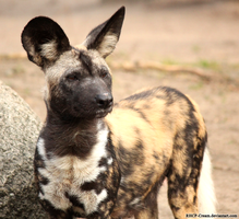 African Wilddog by RHCP-Cream